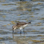 fugaci mic little stint charadriiformes scolopacidae shorebirds limicole