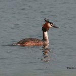 corcodel mare great crested grebe podicipedidae podicipediformes pasari waterfowl apa salbatice birds birdwatching wildlife water
