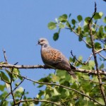 Streptopelia turtur turtle dove turturica columbiformes columbidae pasari birds birdwatching wildlife