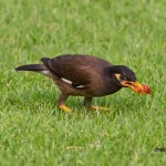 common myna passeriformes sturnidae thailand birds birdwatching wildlife eating meat