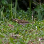 olive backed pipit motacillidae Passeriformes birds birdwatching wildlife pasari fasa