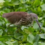 chinese pond heron ardeidae ciconiiformes hunting birds marsh birdwatching wildlife