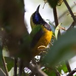orange bellied leafbird thailand birds birdwatching exotic