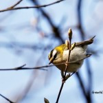 firecrest ausel sprancenat small birds wildlife pasari birdwatching sylviidae