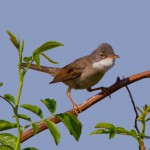 silvie de camp pasari cantatoare songbirds wildlife passeriformes whitethroat