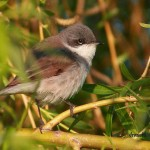 silvie mica lesser whitethroat sylviidae pasari birds birdwatching songbirds