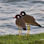 red wattled lapwing birds birdwatching wildlife Indochina Thailand nagat exotic